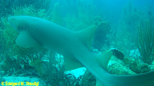 Bonaire Nurseshark